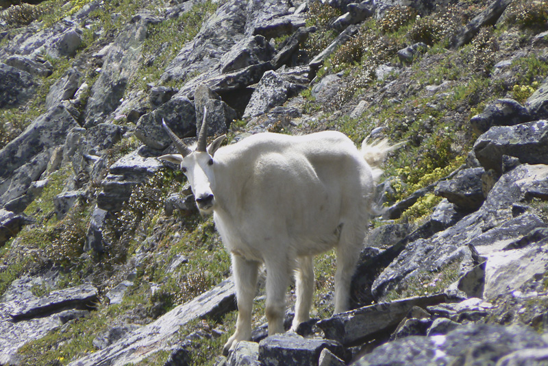 Mtn-Goat-in-the-Premiers