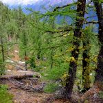 BLBCA_Larch trees with brand new needles_Blog_Summer