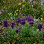 BLBCA_Silky Phacelia at Talus Lodge_Blog_Summer