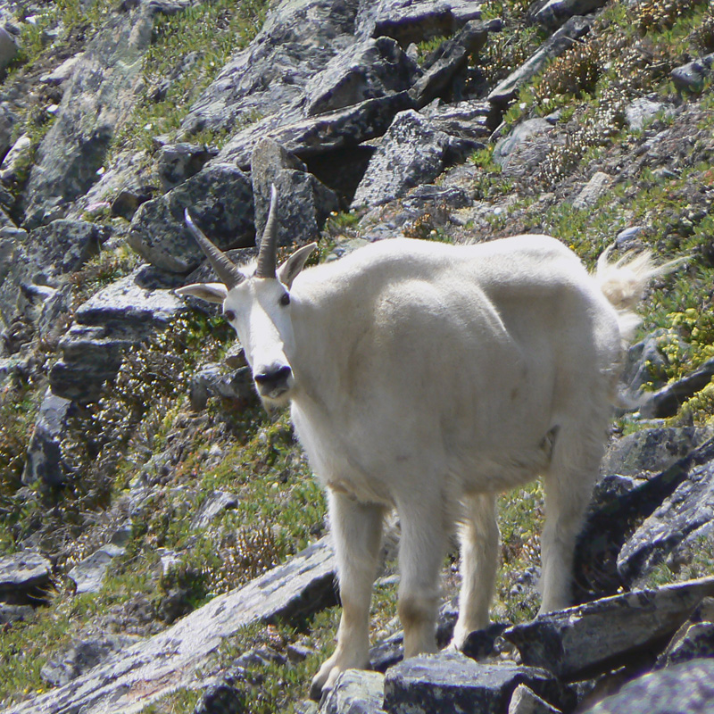 About Us - Mountain Goat